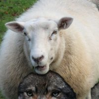 Wolf as Sheep